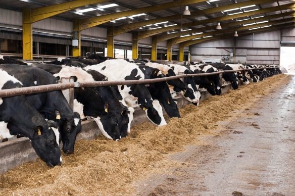 Housed dairy cows on silage. Photo O'Gorman Photography.